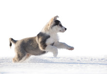 Puppy Of Siberian Husky Jumps ...