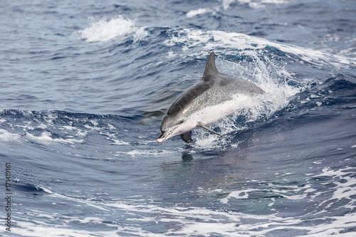 Plakat Delfin przed Sao Miguel (Azory)