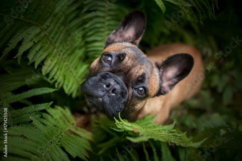 Staande foto Franse bulldog Französische Bulldogge