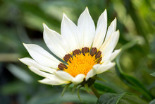 White Gazania Flower