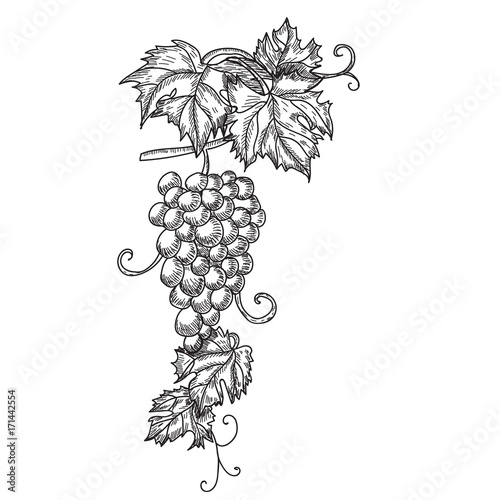 Hand drawn vector illustration of branch grapes. Vine sketch isolated on white background Fototapete