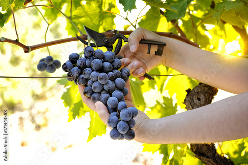 Fotografía  Grape harvest for wine production
