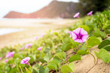 Goat's Foot Creeper Or Morning Glory Beach Flower Blooming