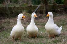 Three Talking Ducks