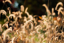 Golden Autumn Grass