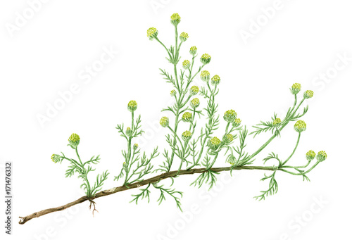 Drawing of a Pineapple weed (Matricaria discoidea) plant Wallpaper Mural