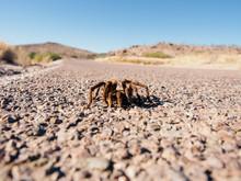 Hairy Tarantula Spider Crawling On Desert Road.