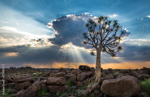 Láminas  The quiver tree, or aloe dichotoma, Keetmanshoop, Namibia