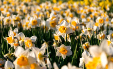 One Daffodil Flower Stands Out...