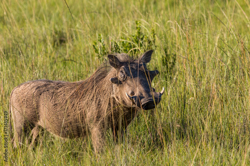 A large warthog stands in the long grass in the Eastern Cape Game reserves of South Africa on a sunny day, protecting its territory Wallpaper Mural
