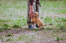 A Mini Dog Breed Of Mini Chihuahua Is Fluttering To A Man. The Man Is Stroking A Puppy.