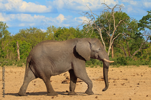 Foto op Aluminium Olifant African elephant walking through the bush with a blue cloudy sky