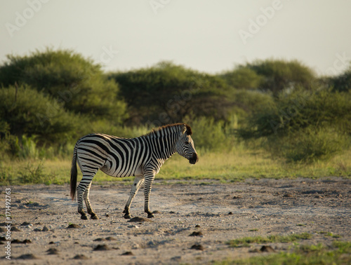 Zebra profile whole body for a walk Canvas Print