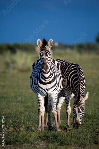 Two Zebras Portrait Poster