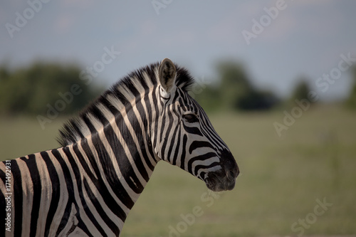 Photo  Zebra Profile single zebra
