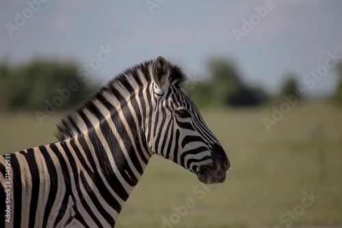 Zebra Profile single zebra Poster