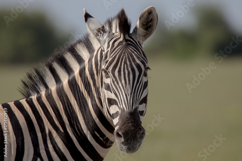 Photo  Zebra Shoulders to head