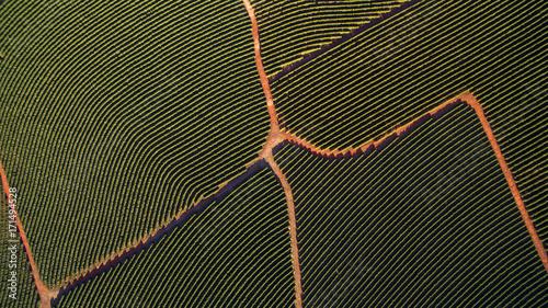 Fotografia Aerial view coffee plantation in Minas Gerais state - Brazil