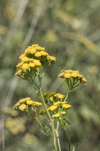 Medicinal herbs yellow inflorescences of tansy flowers tanacetum medicinal herbs yellow inflorescences of tansy flowers tanacetum vulgare mightylinksfo