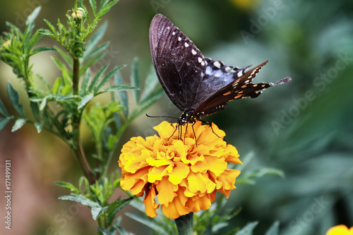 Plakat A Spicebush Swallowtail (Papilio polyxenes) Butterfly karmienia z kwiatem pomarańczowy nagietka w letnim słońcu.
