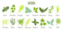 Big Icon Set Of Flat Culinary Herbs. Sage, Thyme, Rosemary, Basil
