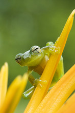 Portrait Of  Tree Frog Standing On The Yellow Flower