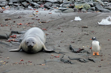 Elephant Seal And Gentoo Pengu...