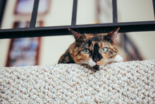 Calico Cat Looking At The Camera