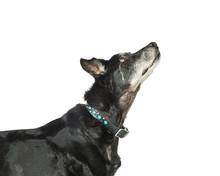 Profile Closeup Senior Large Dog Looking Up
