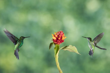 Two Hummingbird Fly To The Flower To Eat Nectar