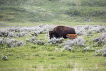 Bison With Baby In The Nature