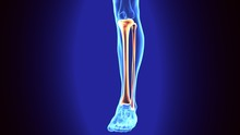 3D Illustration Of Human Skeleton Tibia And Fibula Bones