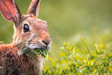 Young Eastern Cottontail Rabbi...