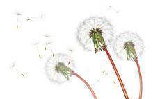 Airborne Dandelion Seeds Flyin...