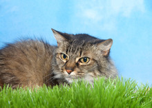 Black And Brown Tabby Cat Laying In Green Grass Looking To Viewers Left Out Of The Frame, Blue Background Sky With Clouds.