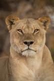 a pride of lions, Chobe National Park, Botswana