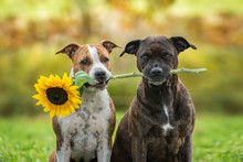 American Staffordshire Terrier Dogs With A Sunflower In Autumn