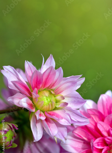 Recess Fitting Lotus flower Pink dahlia flowers background.