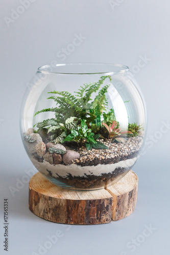 Fern terrarium in a round glass vase isolated on grey background