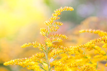 Inflorescences Of A Yellow Fie...