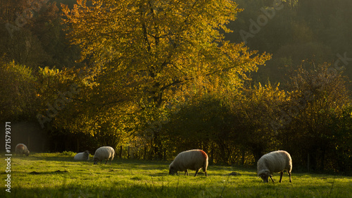 Wall Murals Sheep Herfst in zuid-limburg