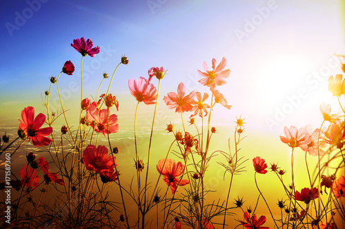 Blurred beautiful cosmos with sunlight nature background