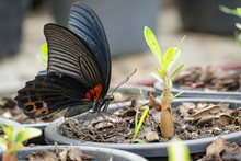 Image Of Great Mormon Butterfl...