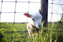 Portrait Of Lamb Looking Through Fence While Standing On Grassy Field