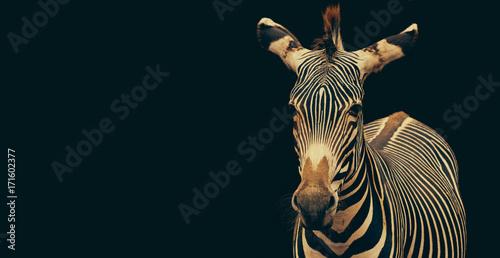 Poster Zebra Zebra (Equus grevyi) portrait isolated on black background and copy space.