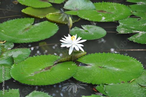 Deurstickers Waterlelies White water lilly