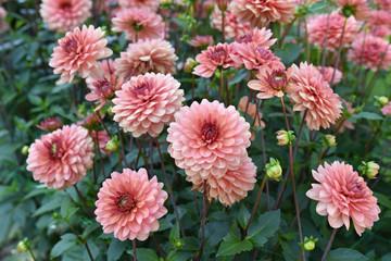 Dahlia rose au jardin en été