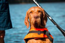 Stand Up Paddling Mit Hund- Vizsla