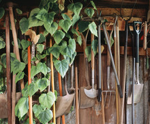 Hedra Ivy Growing Among Gardening Tools In A Shed. UK.