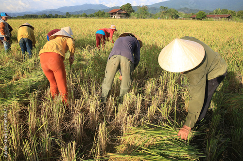 Tablou Canvas Farmers working in rice fields in rural landscape.